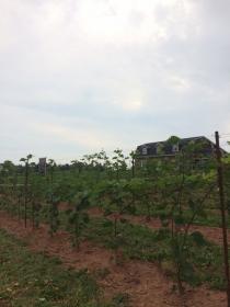 Vineyard 2016